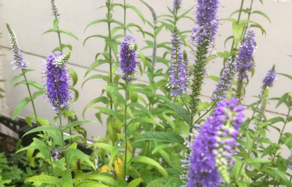 Veronica longifolia 'blue'
