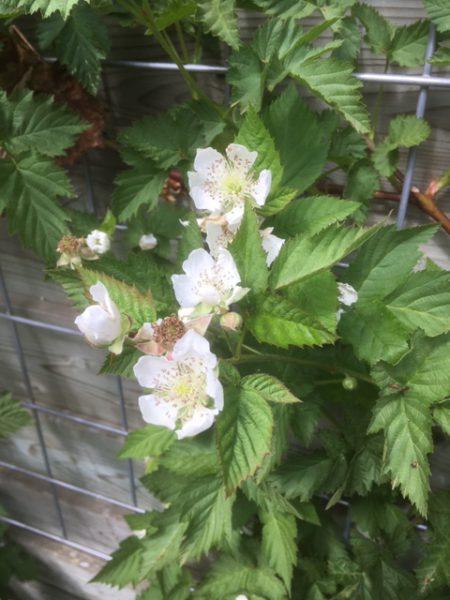 Rubus loganobaccus